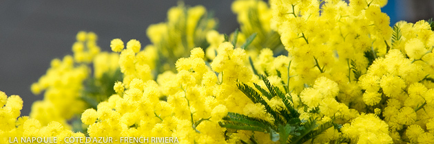 Mandelieu-La Napoule, capital city of the mimosa flowers - French Riviera